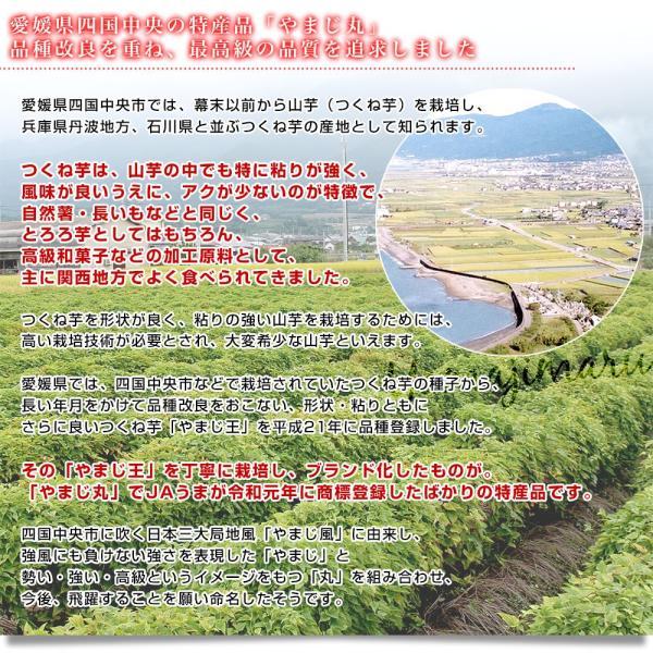 愛媛県より産地直送 四国中央JAうま 山の芋 やまじ丸 2キロ (4玉から5玉)  送料無料 やまじ王 ヤマジ やまのいも つくねいも うま農協 ヤマイモ|sanchokudayori|05