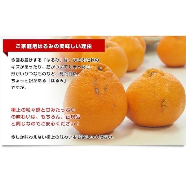 愛媛県産 JAえひめ中央 はるみ ご家庭用 3LからMサイズ 5キロ (18から35玉前後) 送料無料 柑橘 オレンジ 市場スポット|sanchokudayori|05