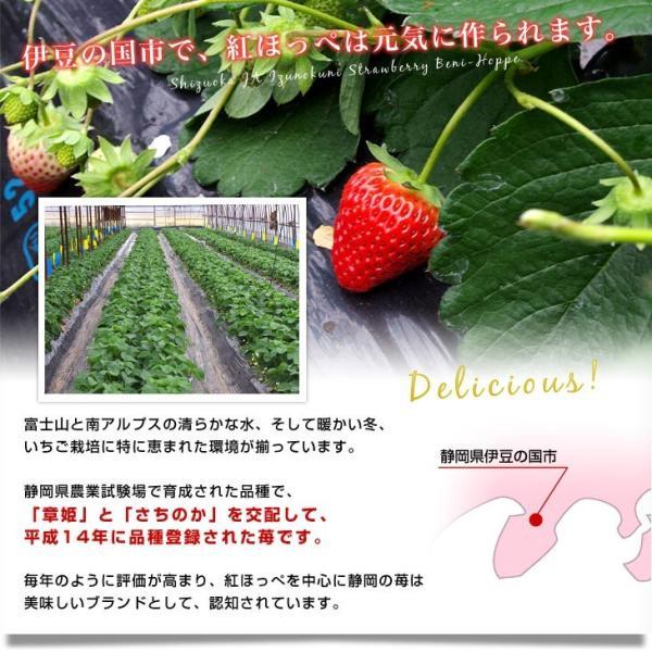 静岡県より産地直送 JA伊豆の国 紅ほっぺ DX 約560g (280g×2P)  送料無料  いちご イチゴ 苺 ※クール便発送|sanchokudayori|04