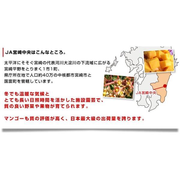 宮崎県より産地直送 JA宮崎中央 太陽のタマゴ 最高級AA品 3L×2玉 (450gから509g×2玉) 送料無料 マンゴー たいようのたまご|sanchokudayori|05