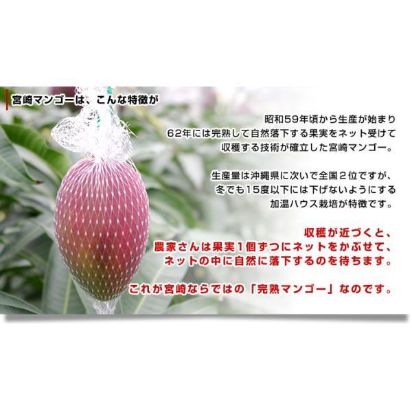 宮崎県より産地直送 JA宮崎中央 太陽のタマゴ 最高級AA品 3L×2玉 (450gから509g×2玉) 送料無料 マンゴー たいようのたまご|sanchokudayori|06