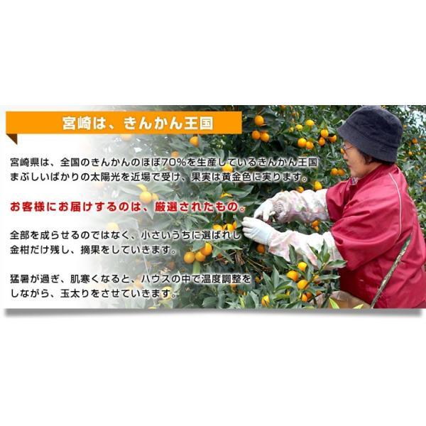 宮崎県から産地直送 JA宮崎中央 たまたま 2Lサイズ 3キロ (約120玉) 送料無料 きんかん 金柑 完熟きんかん|sanchokudayori|04
