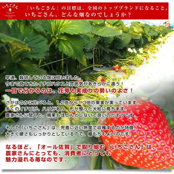 佐賀県より産地直送 JAからつ 新品種いちご いちごさん 苺専用箱ゆりカーゴ入り 450g (15粒から18粒) 送料無料 イチゴ イチゴさん うまかもん sanchokudayori 06