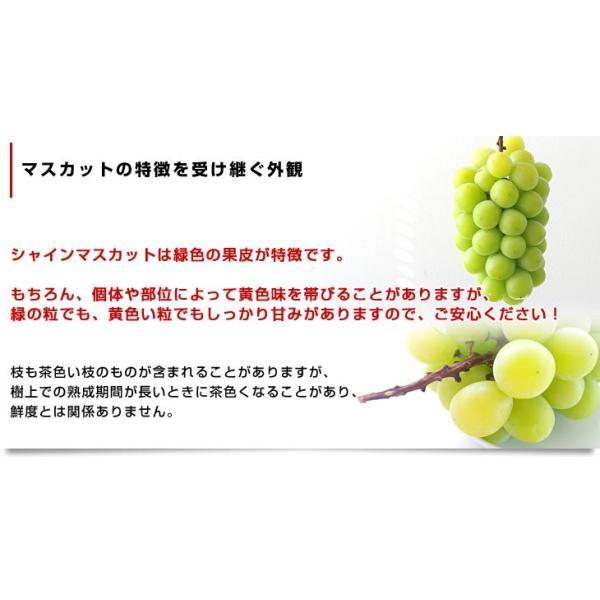 山梨県より産地直送 JAふえふき 大型シャインマスカット 2キロ(3から4房) ぶどう 葡萄 ブドウ|sanchokudayori|05