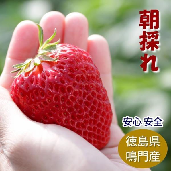 朝採れ苺 大粒サイズ 30個入り 徳島県産 産地直送 宅配便 送料込み/鳴門で育った 紅ほっぺ