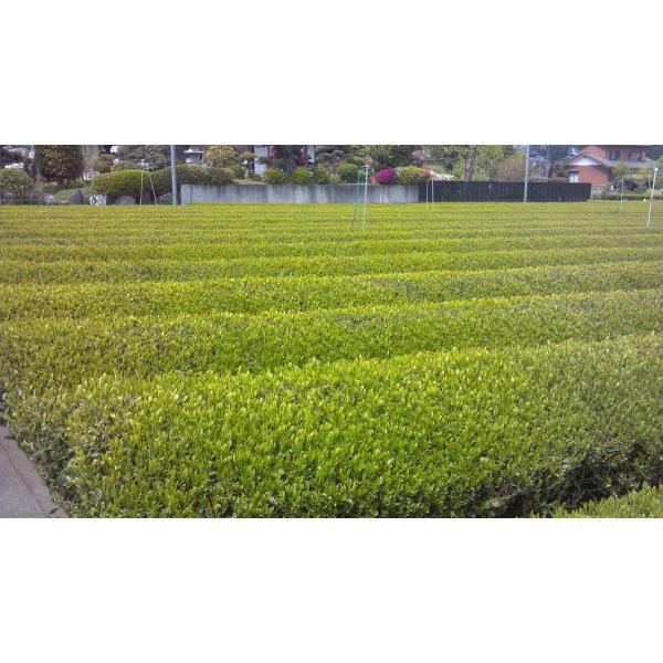 新茶 狭山茶 茎茶 深蒸し茶 2019年(一番茶、やぶきた)150g 2個セット。|sayama-tea|02
