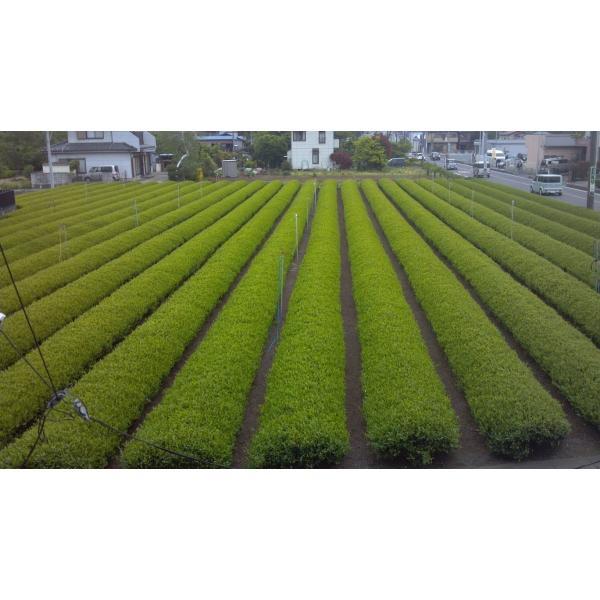 新茶 狭山茶 茎茶 深蒸し茶 2019年(一番茶、やぶきた)150g 2個セット。|sayama-tea|03