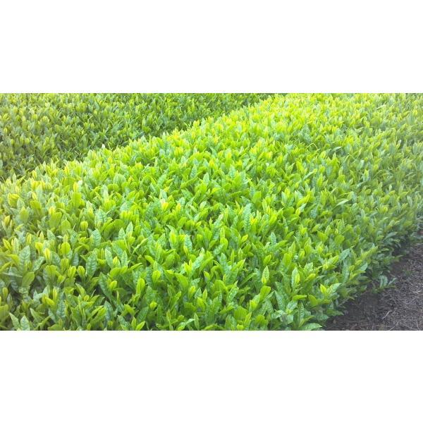 新茶 狭山茶 茎茶 深蒸し茶 2019年(一番茶、やぶきた)150g 2個セット。|sayama-tea|04