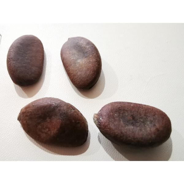 ブラックサポテ〜Black Sapote〜 種子 4粒 seedplanet 02