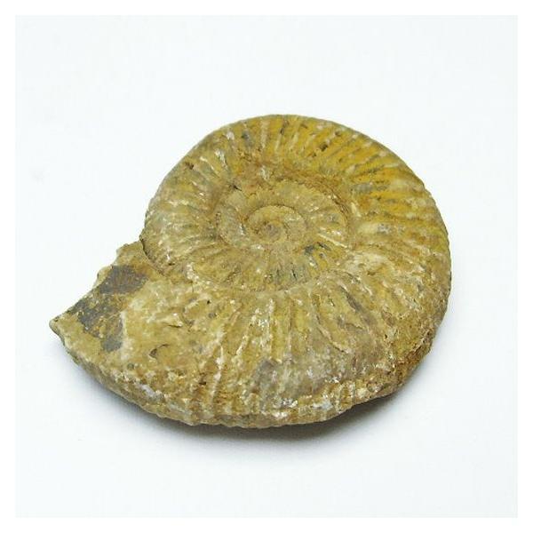 アンモナイト 化石 t485-3105