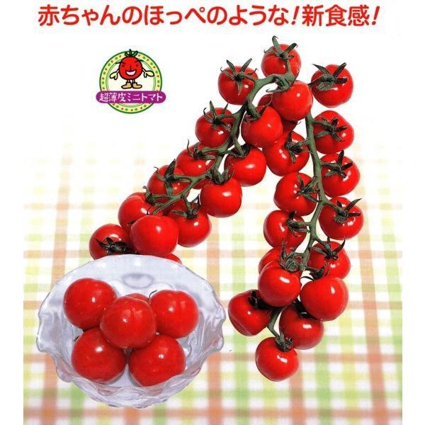 【ミニトマト】 渡辺採種場 「CFプチぷよ」(ぷちぷよ) 青果用シール100枚 ★代引不可