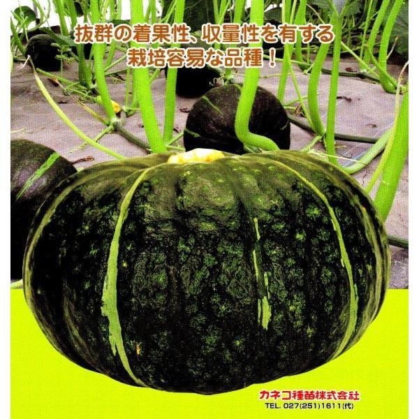 【カボチャ】 カネコ交配 栗五郎(くりごろう) 1000粒 ★新タネは種子切り替えの1月以降のお届を予定
