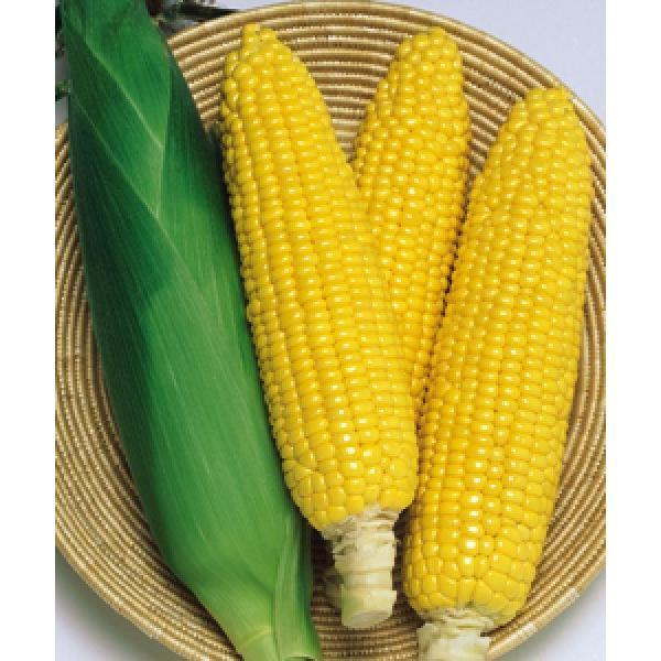【とうもろこし種子】 タキイ交配 おひさまコーン88 小袋 ★新タネは種子切り替えの1月以降のお届を予定