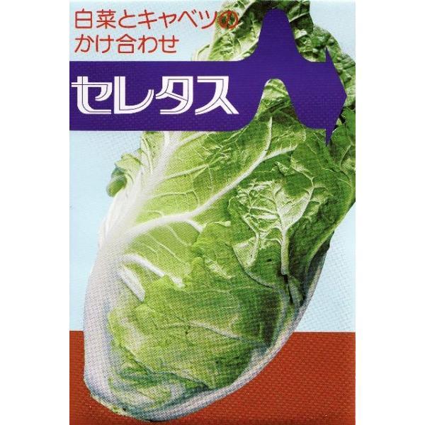 【白菜】 むさし育種農場  白菜とキャベツの掛け合わせ! 「セレタス」 70粒 ★新タネのお届けは6月以降となります