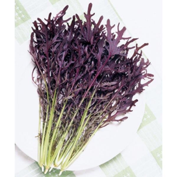 【からしな種子】 タキイ交配 コーラルリーフ フェザー 20ml PVP登録品種種子
