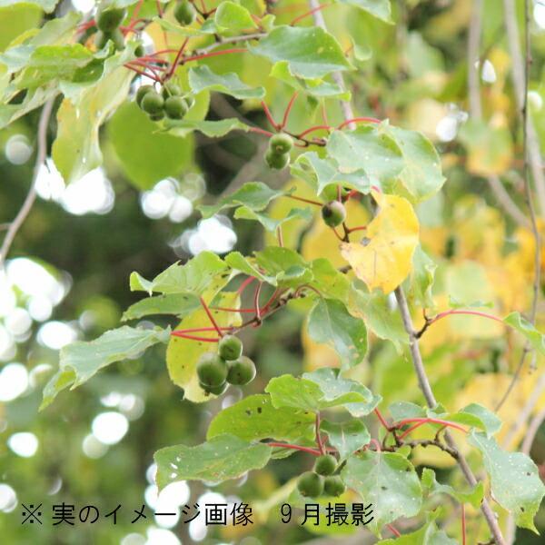 (1ポット)サルナシ 10.5cmポット苗 果樹苗/猿梨/マタタビの仲間