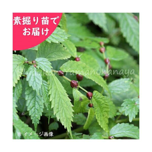 ミズ 山菜