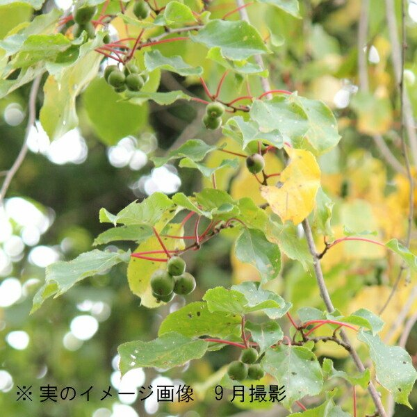 (5ポット)サルナシ 10.5cmポット苗5ポットセット 果樹苗/猿梨/マタタビの仲間
