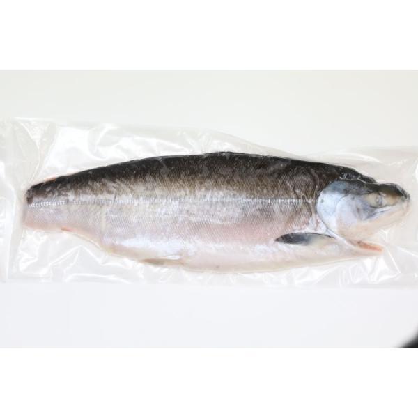 業務用 一級 半身 ときしらず 鮭 昆布森産 低温熟成 塩仕込 1200g-1300g