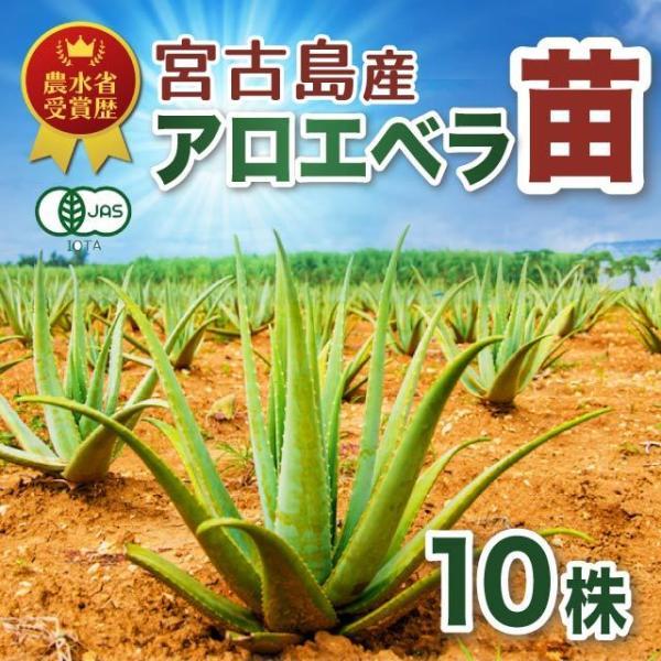 アロエベラ アロエ 苗 10株|shirounouen