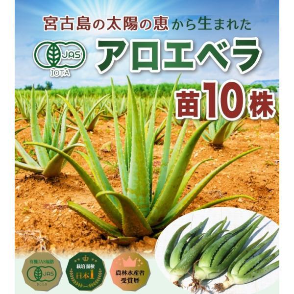 アロエベラ アロエ 苗 10株|shirounouen|02
