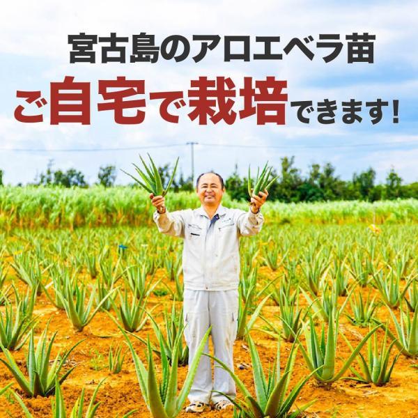 アロエベラ アロエ 苗 10株|shirounouen|04