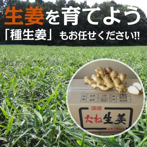 【種生姜】千葉県産 金時生姜 10kg|shougakoubou|05