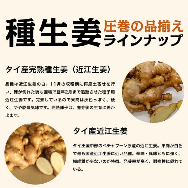 【種生姜】千葉県産 金時生姜 10kg|shougakoubou|07