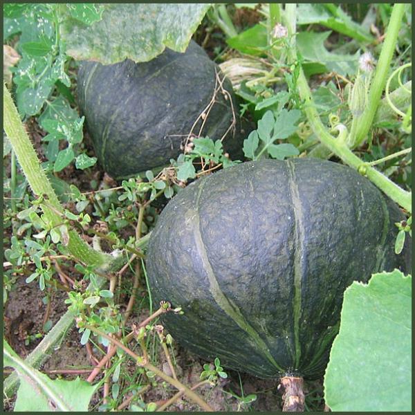九重栗かぼちゃ 10kg (5〜7玉)×1箱 北海道産 南瓜 出荷時期:9〜10月