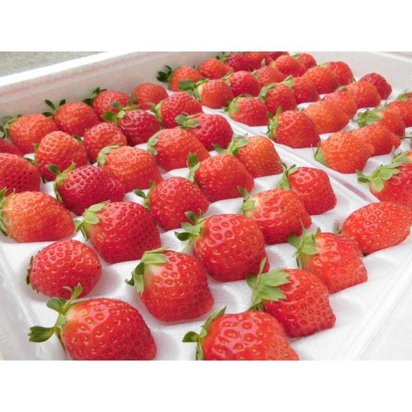 夏いちご M(300g・30粒前後)×2トレー(計600g)北海道産 夏イチゴ 出荷期間:6〜12月