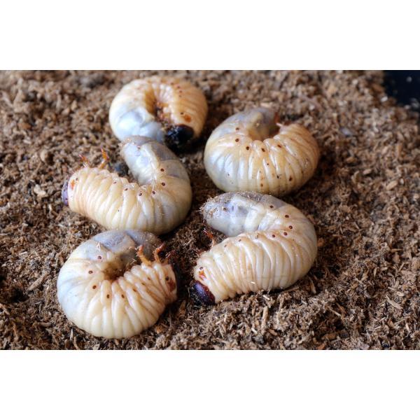 カブトムシ幼虫観察セット/自由研究/天然/カブト虫|sky-palace-tokiwa|02