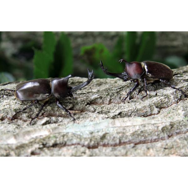カブトムシ幼虫観察セット/自由研究/天然/カブト虫|sky-palace-tokiwa|03