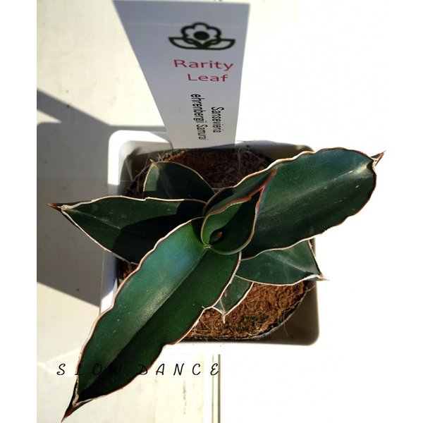 サンスベリア サムライドワーフ/3.5号プラ角鉢ホワイト キジカクシ科サンセベリア属 観葉植物
