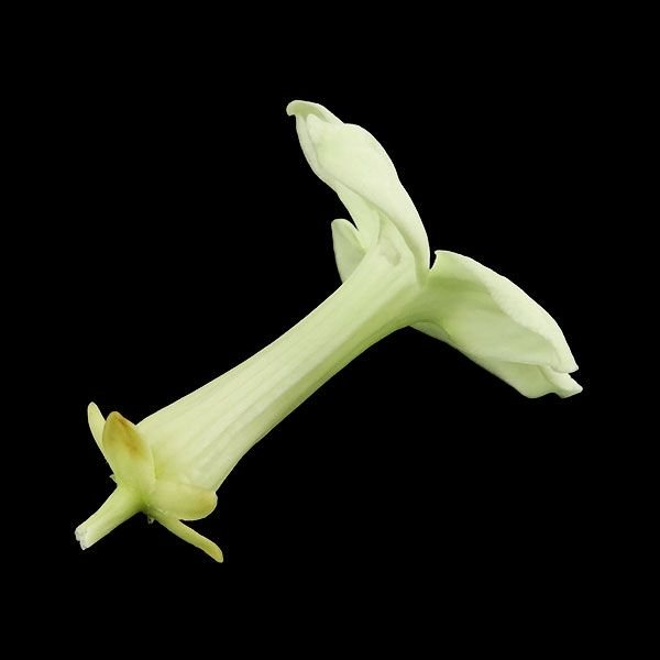 大地農園 ジャスミン フレッシュグリーン 小分け 1輪入 プリザーブドフラワー 材料 花材 preserving solargift 03