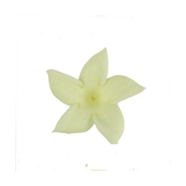ジャスミン シャトルズイエロー 箱 12輪入 プリザーブドフラワー 材料 花材 prehana world|solargift|02