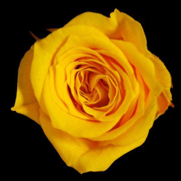 プリンセスローズ サフランイエロー 箱 16輪入 プリザーブドフラワー 材料 花材|solargift|04