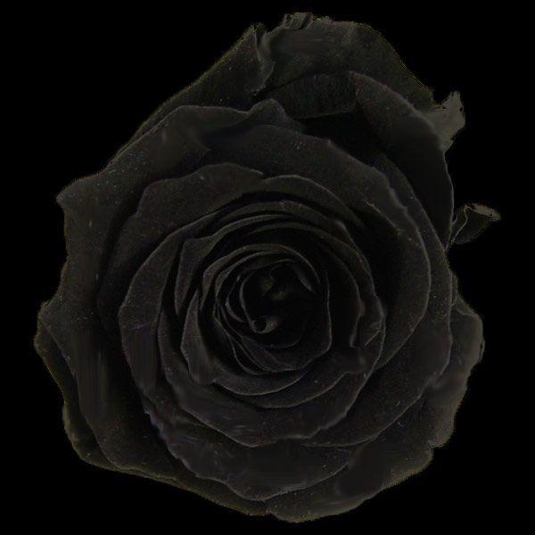 プリンセスローズ ブラック 箱 16輪入 プリザーブドフラワー 材料 花材|solargift|04