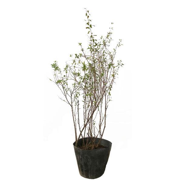 ユキヤナギ 12ポットセット 落葉樹 庭木 花木|somagreen