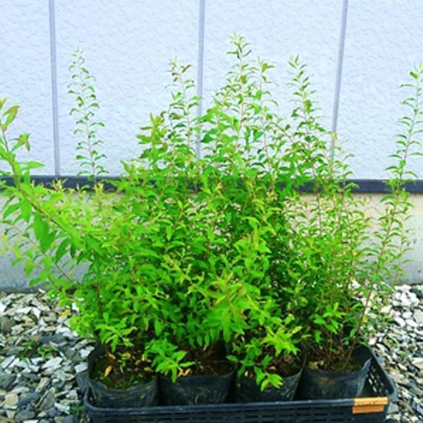 ユキヤナギ 12ポットセット 落葉樹 庭木 花木|somagreen|02