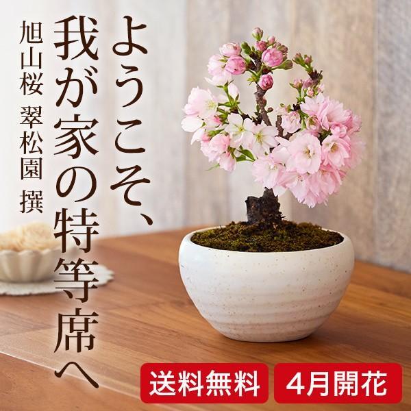 (桜盆栽)旭山桜 盆栽(送料無料)(桜 ミニ盆栽 bonsai ボンサイ さくら エア花見) 翠松園 撰*o-M-sakura-b001*|somurie