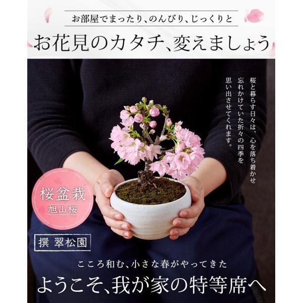 (桜盆栽)旭山桜 盆栽(送料無料)(桜 ミニ盆栽 bonsai ボンサイ さくら エア花見) 翠松園 撰*o-M-sakura-b001*|somurie|02