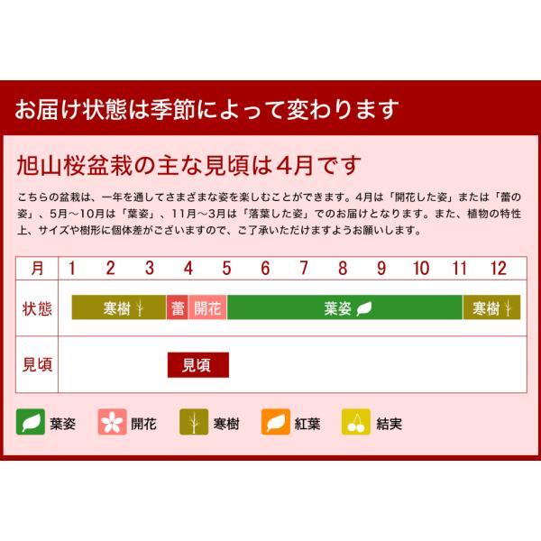 (桜盆栽)旭山桜 盆栽(送料無料)(桜 ミニ盆栽 bonsai ボンサイ さくら エア花見) 翠松園 撰*o-M-sakura-b001*|somurie|12