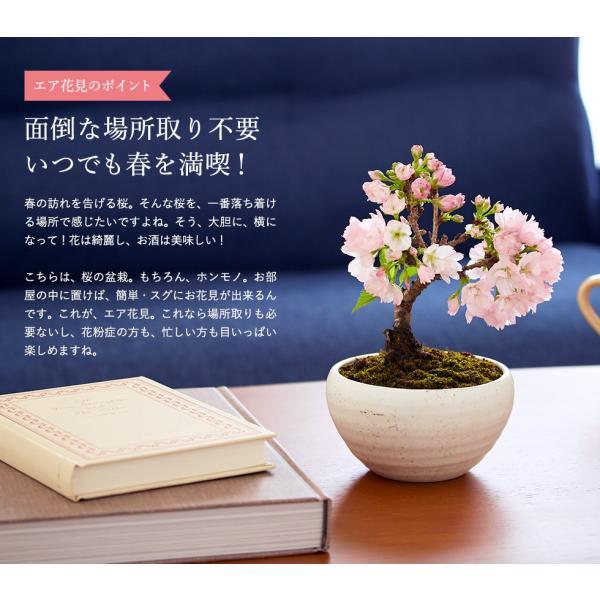 (桜盆栽)旭山桜 盆栽(送料無料)(桜 ミニ盆栽 bonsai ボンサイ さくら エア花見) 翠松園 撰*o-M-sakura-b001*|somurie|13