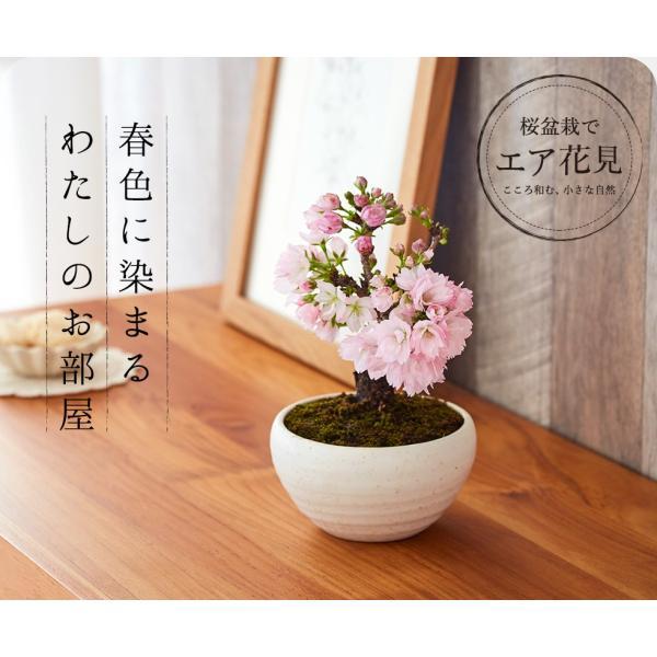 (桜盆栽)旭山桜 盆栽(送料無料)(桜 ミニ盆栽 bonsai ボンサイ さくら エア花見) 翠松園 撰*o-M-sakura-b001*|somurie|14