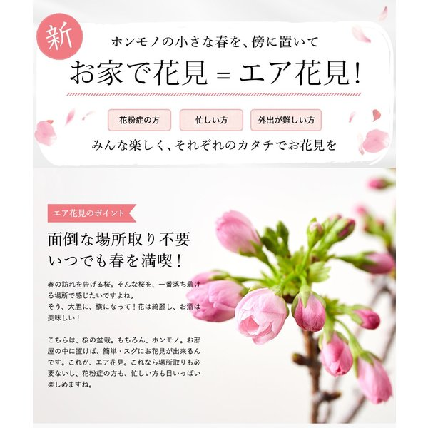 (桜盆栽)旭山桜 盆栽(送料無料)(桜 ミニ盆栽 bonsai ボンサイ さくら エア花見) 翠松園 撰*o-M-sakura-b001*|somurie|03