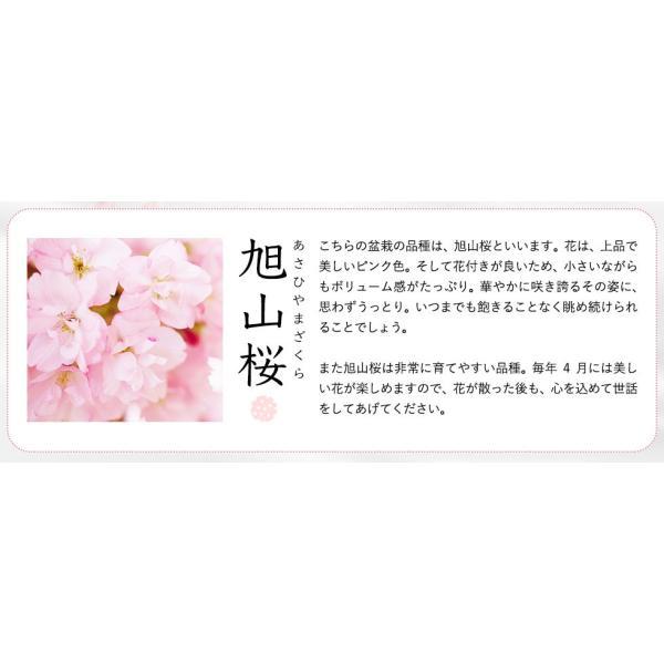 (桜盆栽)旭山桜 盆栽(送料無料)(桜 ミニ盆栽 bonsai ボンサイ さくら エア花見) 翠松園 撰*o-M-sakura-b001*|somurie|04