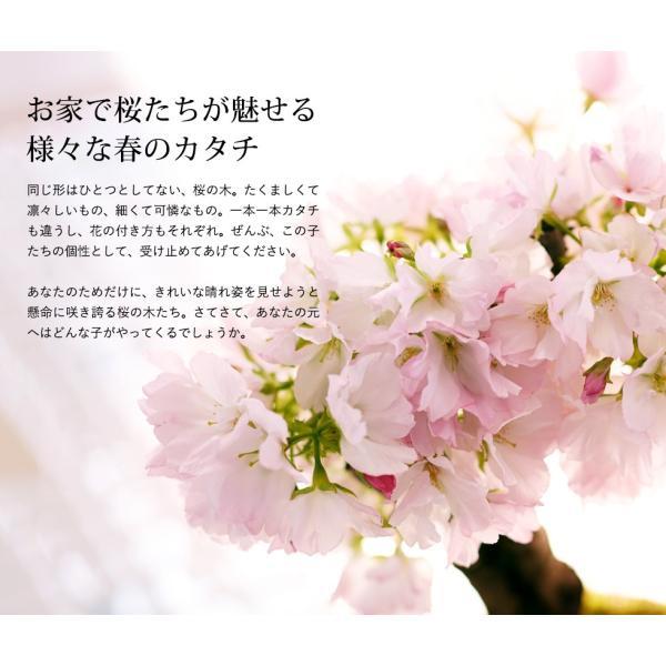 (桜盆栽)旭山桜 盆栽(送料無料)(桜 ミニ盆栽 bonsai ボンサイ さくら エア花見) 翠松園 撰*o-M-sakura-b001*|somurie|05