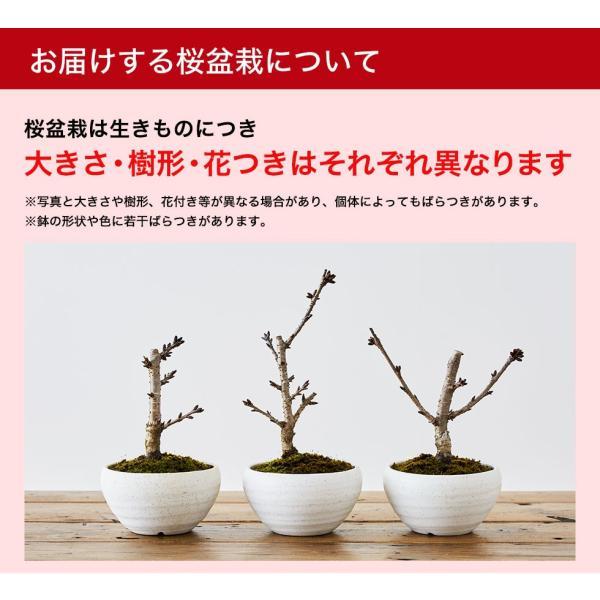 (桜盆栽)旭山桜 盆栽(送料無料)(桜 ミニ盆栽 bonsai ボンサイ さくら エア花見) 翠松園 撰*o-M-sakura-b001*|somurie|08