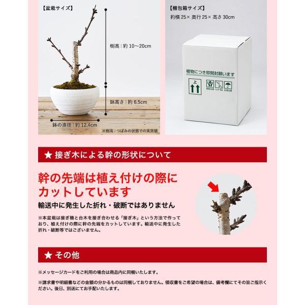 (桜盆栽)旭山桜 盆栽(送料無料)(桜 ミニ盆栽 bonsai ボンサイ さくら エア花見) 翠松園 撰*o-M-sakura-b001*|somurie|09