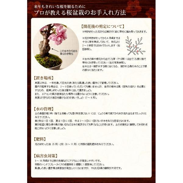 (桜盆栽)旭山桜 盆栽(送料無料)(桜 ミニ盆栽 bonsai ボンサイ さくら エア花見) 翠松園 撰*o-M-sakura-b001*|somurie|10
